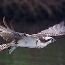 Flight of an Osprey by Karen  Moore