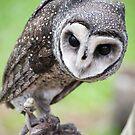 Sooty Owl by Jenny Dean