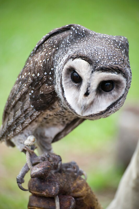 Quot Sooty Owl Quot By Jenny Dean Redbubble