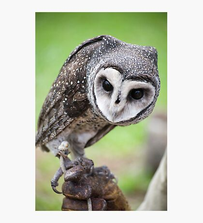 Sooty Owl Photographic Print