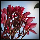 Red Frangipani Bloom by Sea-Change