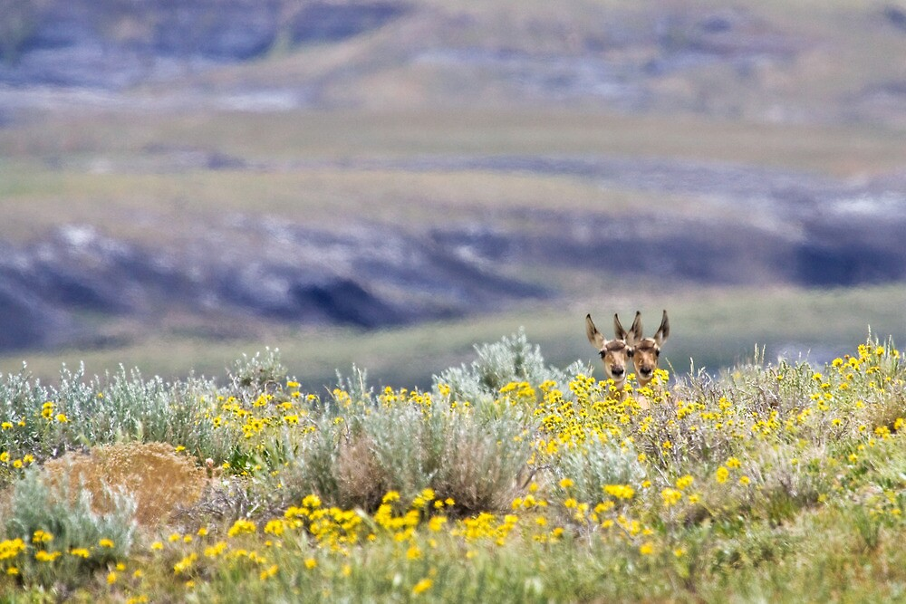 Pronghorn Twins by Kim Barton