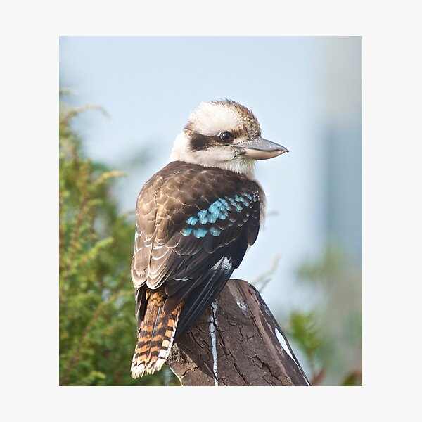 KINGFISHER ~ Kookaburra coPMh3Lw by David Irwin Photographic Print