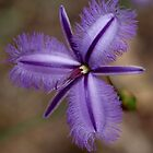 Fringed Lily by kalaryder