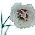 Close-up of Garden Pink by friendlydragon