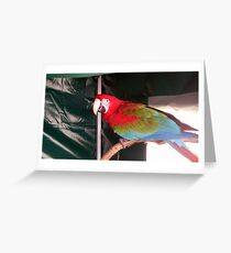 A Stunning Red Macau. Greeting Card