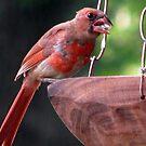 Cardinal 2 by DottieDees
