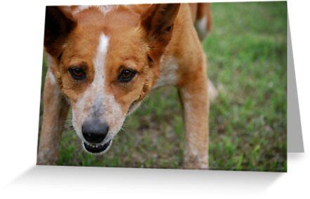 Focused Cattle Dog Mix by Suz Garten