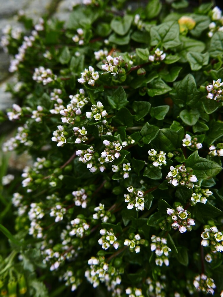 Danish Scurvygrass (Cochlearia danica) by IOMWildFlowers