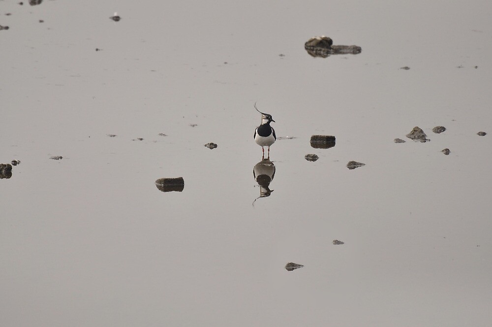 Lapwing II by Chris Monks
