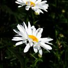Pair Of White Shasta's by kkphoto1