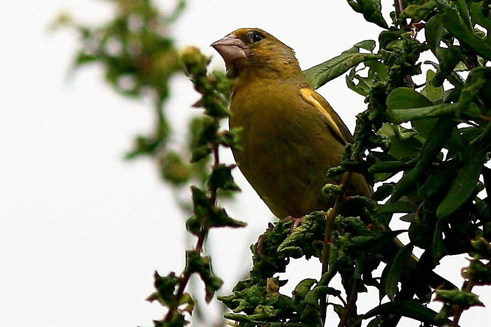 The Greenfinch by snapdecisions