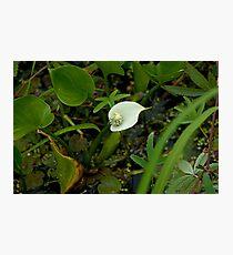 Wild Calla Lily (Calla palustris) Photographic Print