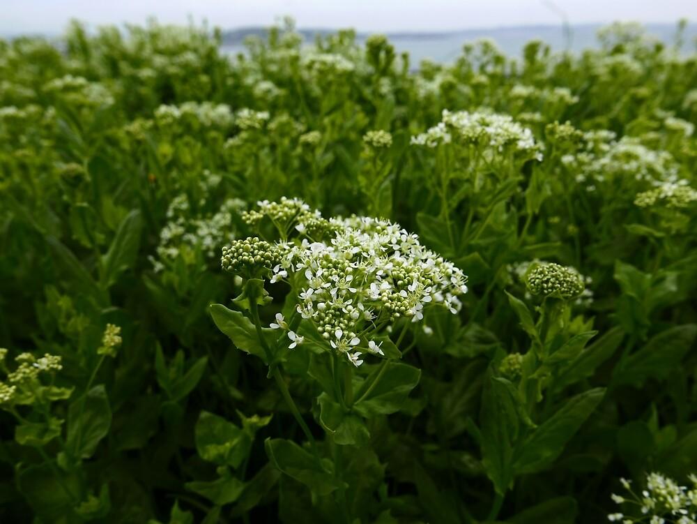 Hoary Cress (Lepidium draba) by IOMWildFlowers