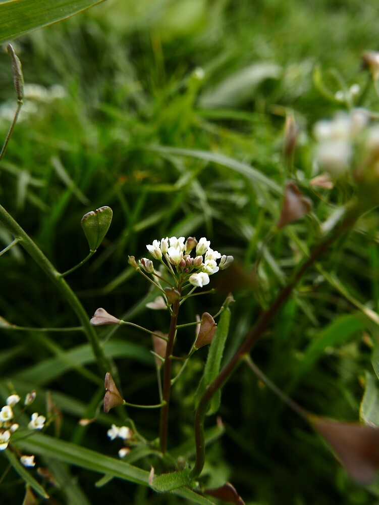 Shepherd's Purse (Capsella bursa-pastoris) by IOMWildFlowers