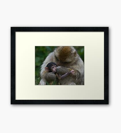 Two Week Old Barbary macaques Framed Print