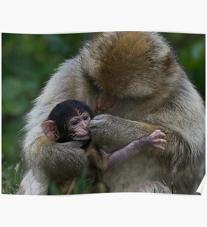Two Week Old Barbary macaques Poster