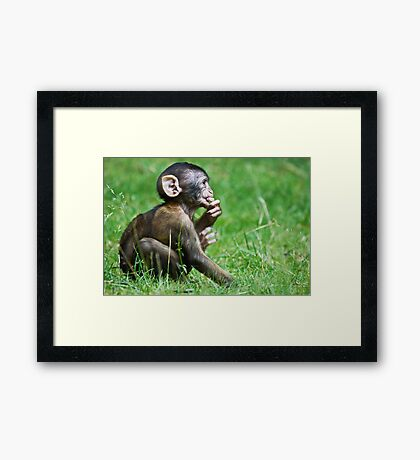 Eight Week Old Barbary macaques Framed Print