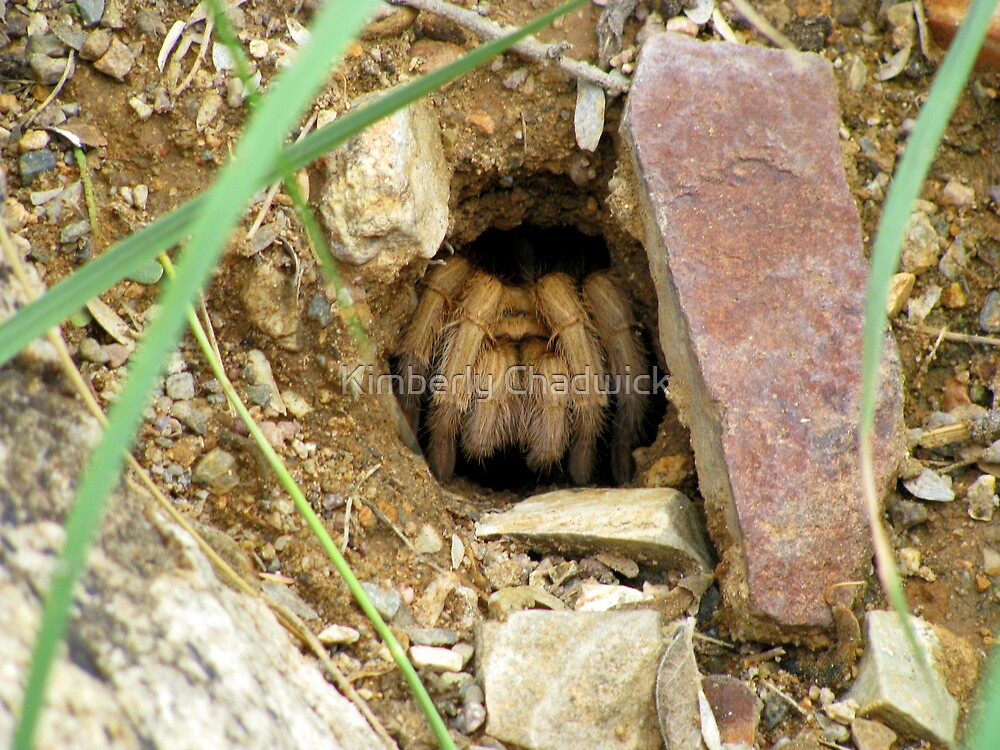 Arizona/Mexican Blonde Tarantula ~ Nesting by Kimberly Chadwick