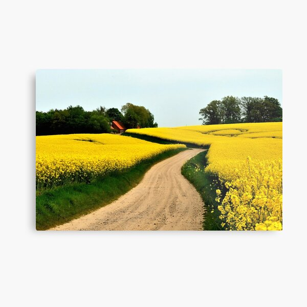 Driving through the rapeseed fields  Metal Print