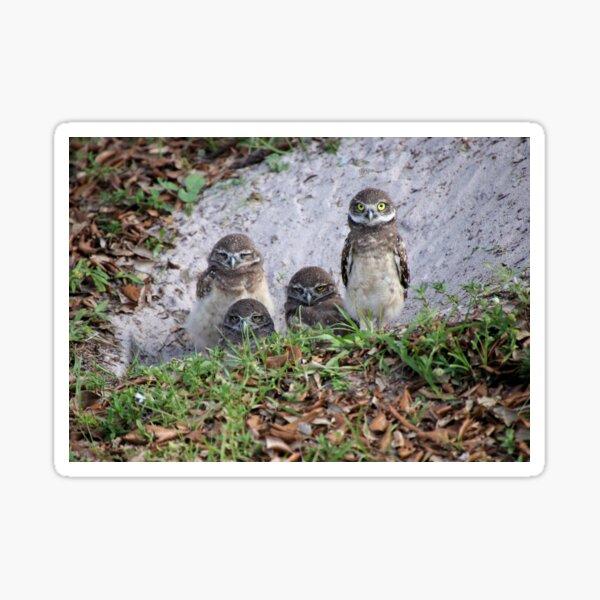 Baby Burrowing Owls Sticker