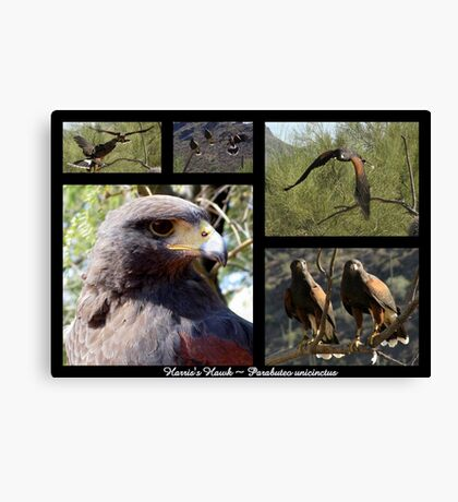 Harris's Hawk ~ Raptor Series Canvas Print