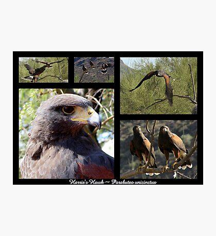 Harris's Hawk ~ Raptor Series Photographic Print