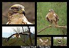 Ferruginous Hawk ~ Raptor Series by Kimberly Chadwick