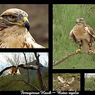 Ferruginous Hawk ~ Raptor Series by Kimberly Chadwick