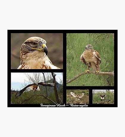 Ferruginous Hawk ~ Raptor Series Photographic Print