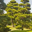 Japan, Tokyo, Imperial Palace. Manicured trees. by johnrf