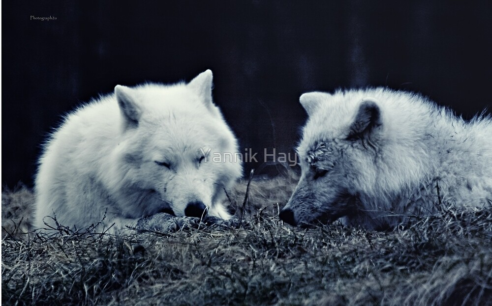Arctic Wolves Love by Yannik Hay