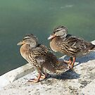 Duck love by Larry Martinez