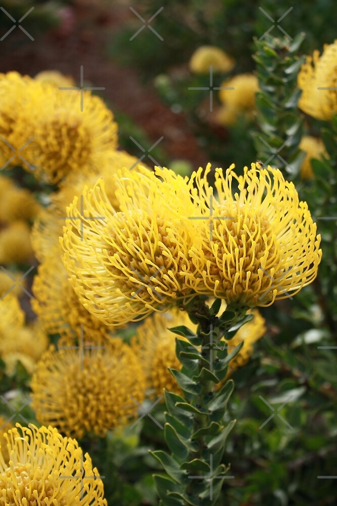 Yellow Protea by Elaine Teague