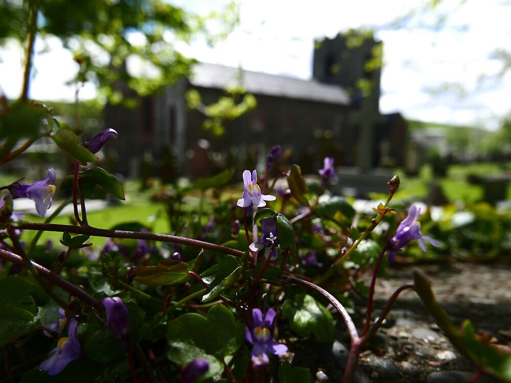 Ivy-leaved Toadflax (Cymbalaria muralis) by IOMWildFlowers