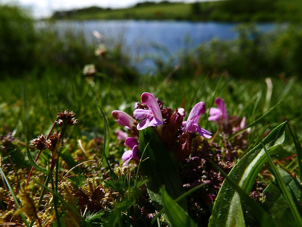Common Lousewort (Pedicularis sylvatica) by IOMWildFlowers