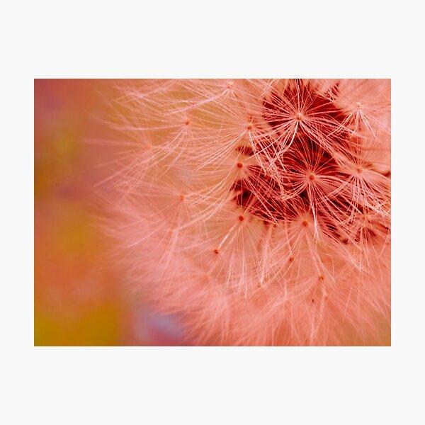 Pink dandelion fluff Photographic Print
