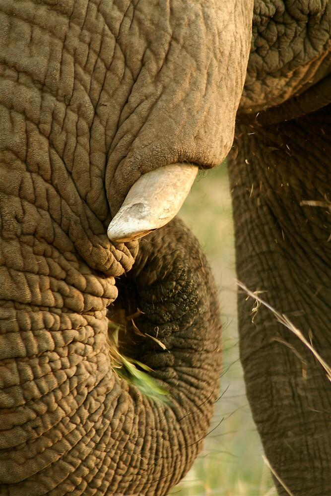 Elephant trunk in motion by Graeme Shannon