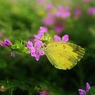 Beautiful Butterfly  by aunkurs