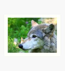 Timber wolf on alert Art Print
