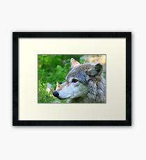 Timber wolf on alert Framed Print