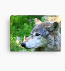 Timber wolf on alert Canvas Print