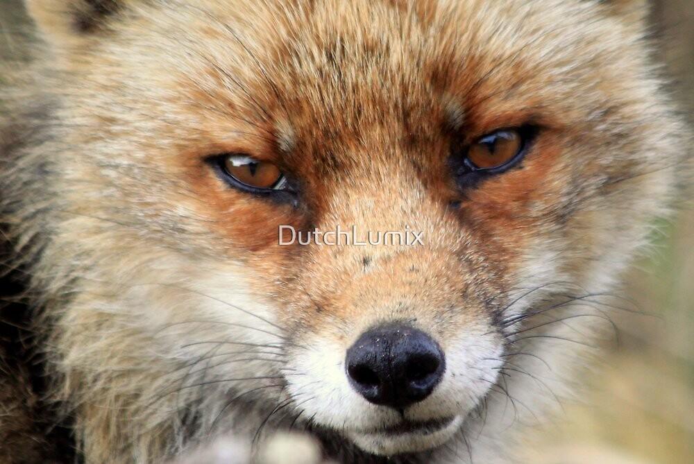 Fox_4896 by DutchLumix