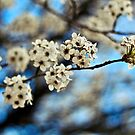 Pear Blossoms  by quantumnatura