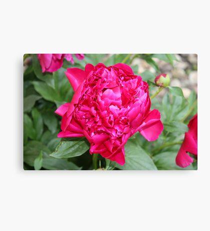 Vibrant Fuchsia Peony Canvas Print