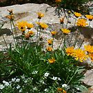 Coreopsis in the Rock Garden  by Heather Friedman