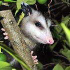 Nettes Babyopossom von ♥⊱ B. Randi Bailey