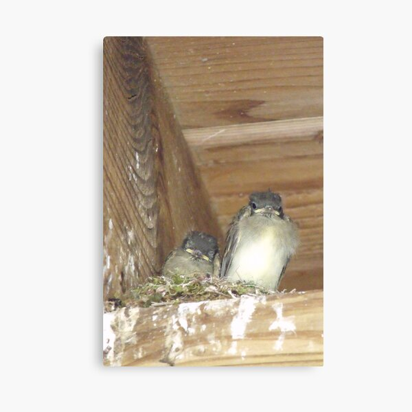 Baby Eastern Phoebes  Canvas Print