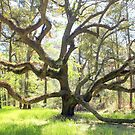 Live Oak, Botany Bay Plantation by Cecilia Carr
