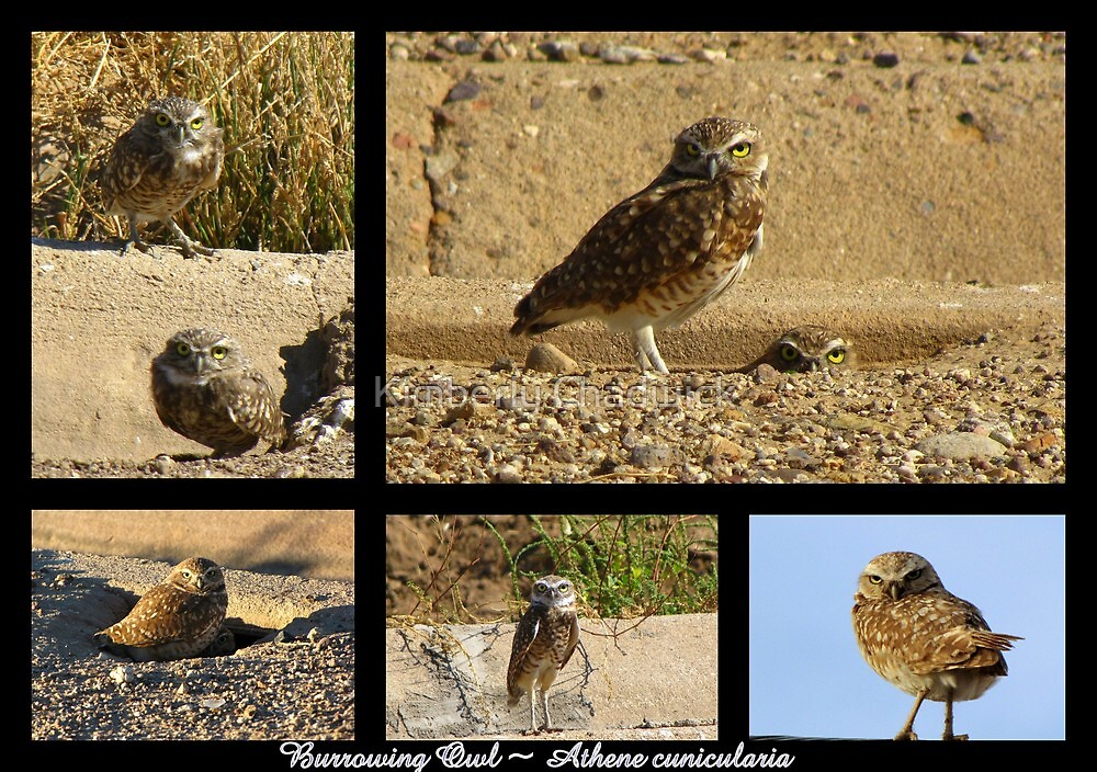 Burrowing Owl ~ Raptor Series by Kimberly Chadwick